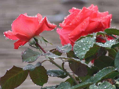 2008_1101roses0003.JPG
